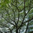 ねむの木かな
