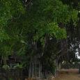 バニアンツリー