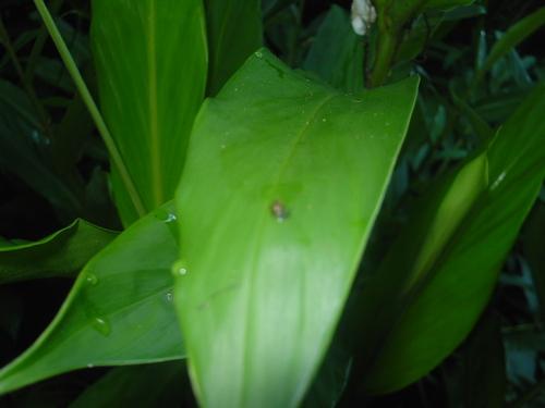 ハワイのカタツムリ